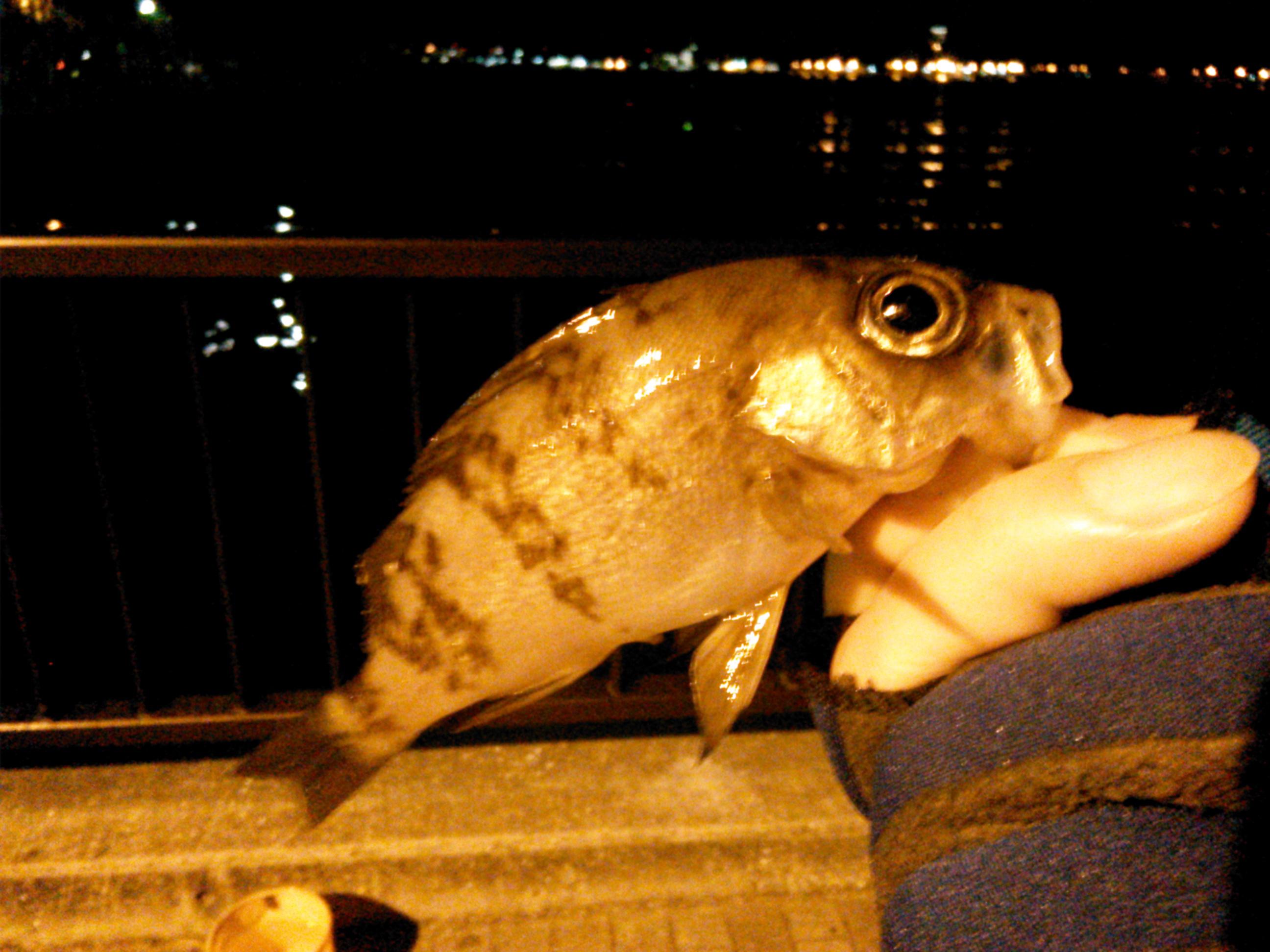 横須賀・アイクル横護岸で釣ったメバル