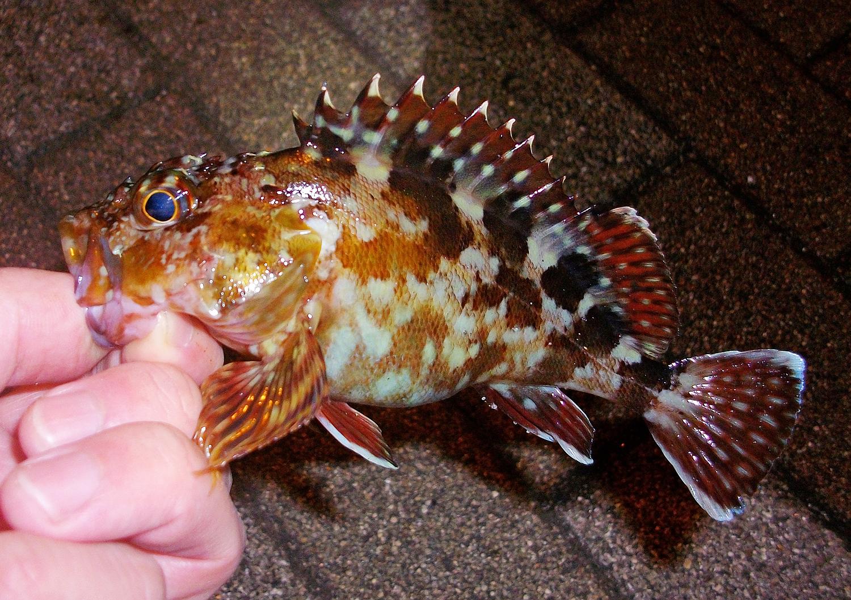 横須賀・アイクル横護岸で釣ったカサゴ