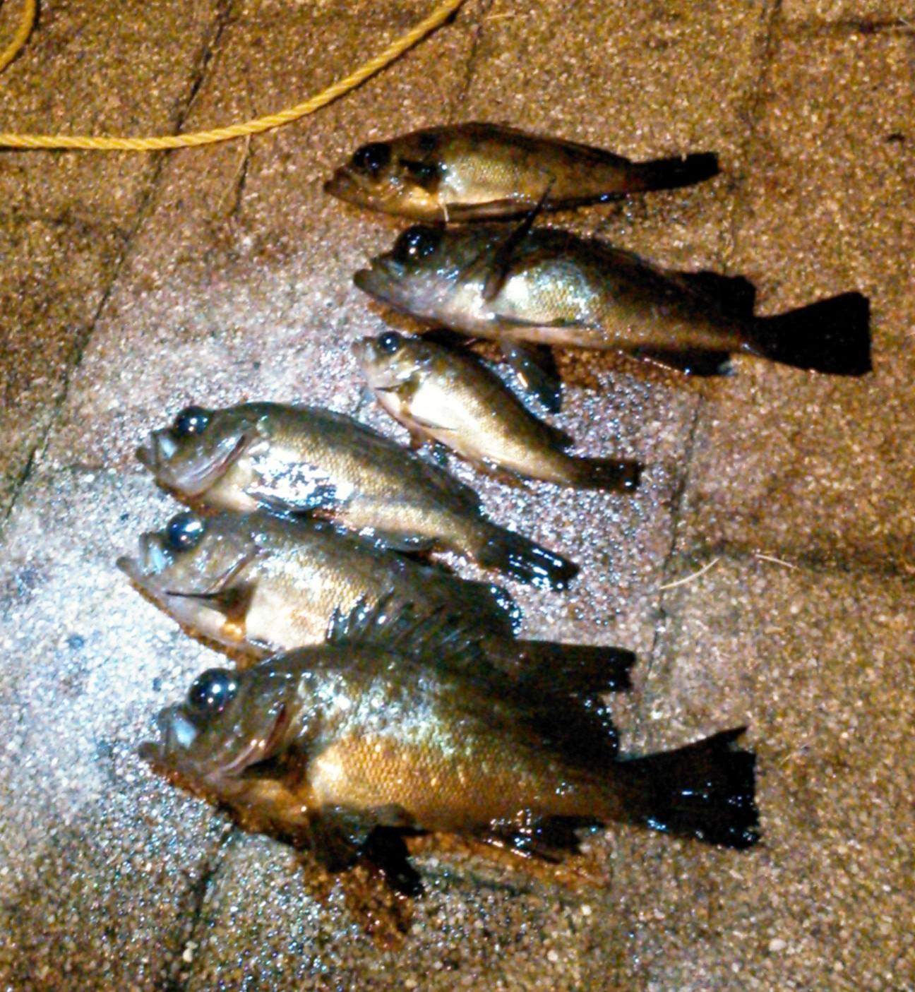 アイクル横護岸で釣った全釣果メバル6尾