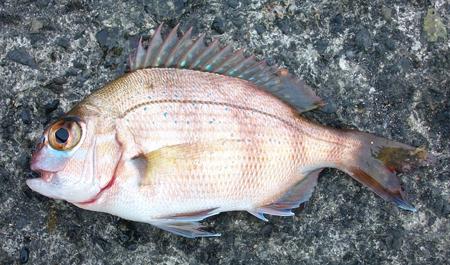 マダイの幼魚