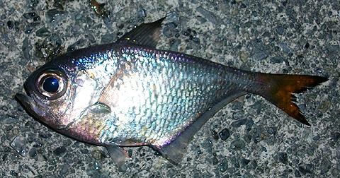 アジカブラで釣ったミナミハタンポ