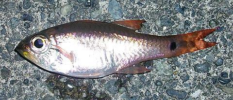 アジカブラで釣ったクロホシイシモチ