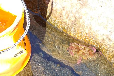 釣り座を構えた磯の割れ目にたまった海水に、根魚の姿が