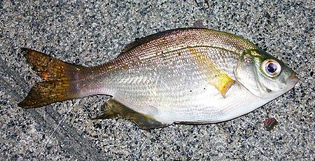 夜の杉田臨海緑地で釣れたウミタナゴ