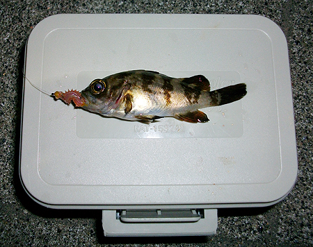 探り釣りでゲットした10cmにも満たないチビメバル