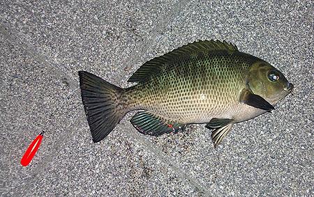 杉田臨海緑地で釣った20cmクラスのメジナ