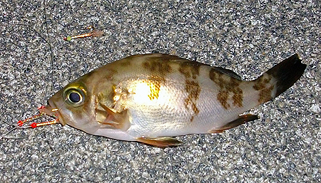 杉田臨海緑地で釣ったチビメバル1