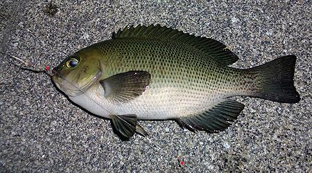 杉田臨海緑地で釣った10cm強程度のメジナ