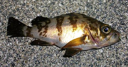 杉田臨海緑地で釣ったチビメバル2