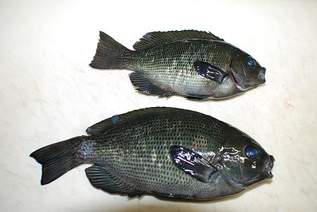 東京湾産メジナ2尾