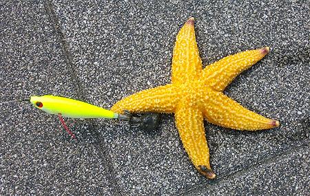 杉田臨海緑地で釣ったマヒトデ