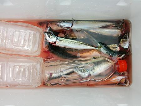 南伊豆・板見港での全釣果。小サバばかり