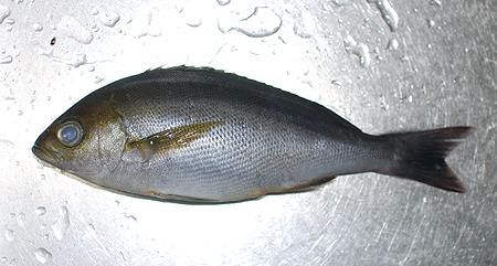 魚屋で購入した25cm程度のイサキ