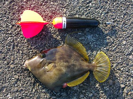 西伊豆・戸田港で釣った良型カワハギ