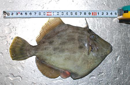 西伊豆・戸田港で釣ったカワハギの大きさは23~24cm