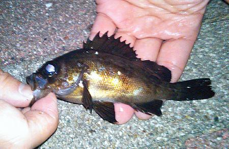 横須賀追浜・アイクル横護岸で釣ったメバル