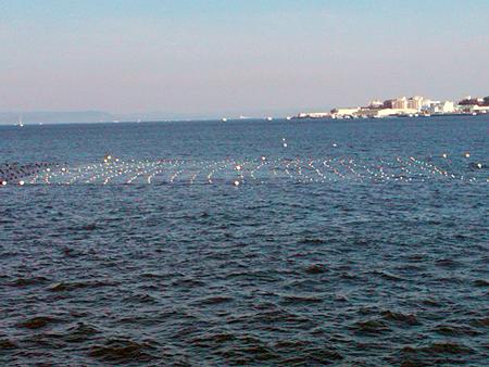 横須賀追浜・アイクル横護岸の沖には定置網