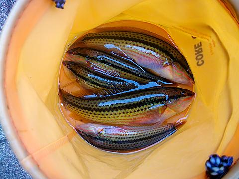 横須賀追浜・アイクル横護岸で釣ったキュウセン数尾