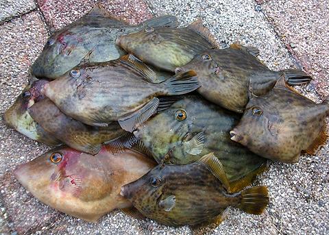 釣ったカワハギとウマヅラハギが12枚