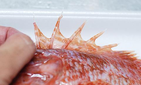 オニカサゴの背ビレの鋭い毒棘