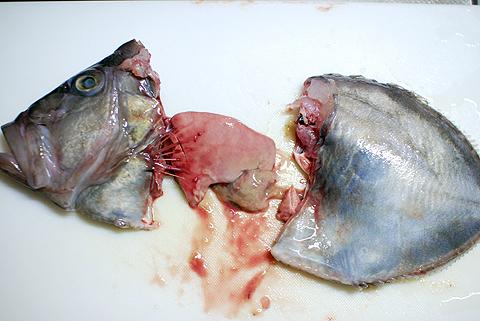 マトウダイの頭を落とすと肝臓が出現