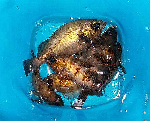 アイクルで釣ったメバル計6尾