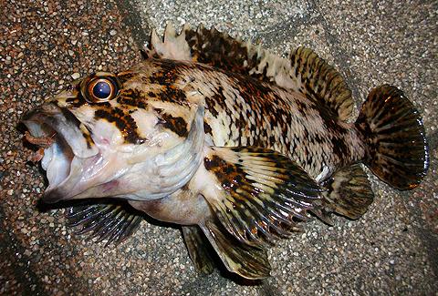 アイクルで釣ったオウゴンムラソイ