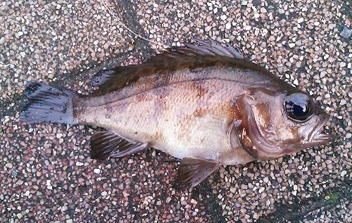 アイクル横護岸で釣ったメバル