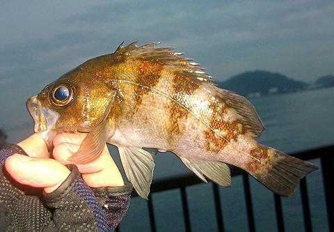 アイクル横護岸で釣った20cm近いメバル