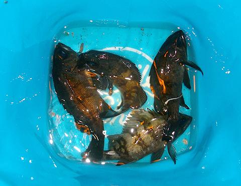 アイクル横護岸で釣ったメバル4尾