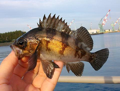 ノベ竿で釣った20cmクラスのメバル