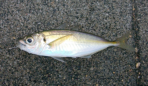 ノベ竿で釣ったアジ