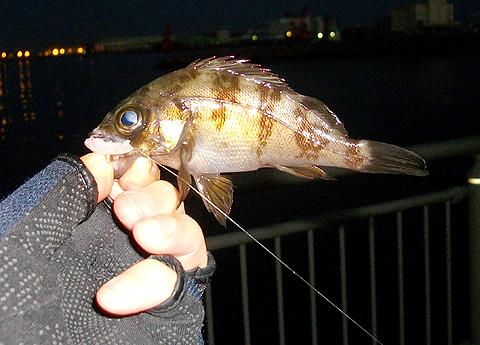 ノベ竿で釣った10cm強ぐらいの少メバル