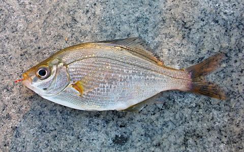 杉田臨海緑地で釣ったウミタナゴ