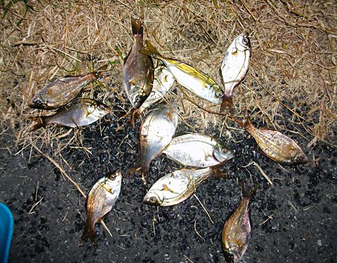 杉田臨海緑地で釣ったウミタナゴ11尾とアジ