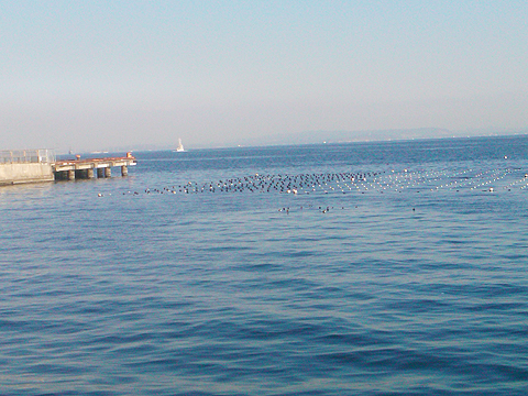 横須賀追浜・アイクル横護岸の風景、沖に定置網