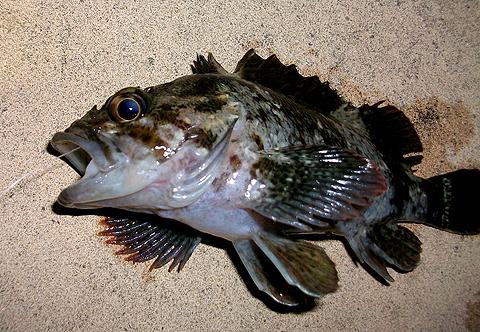 横須賀追浜・アイクル横護岸で釣ったムラソイ