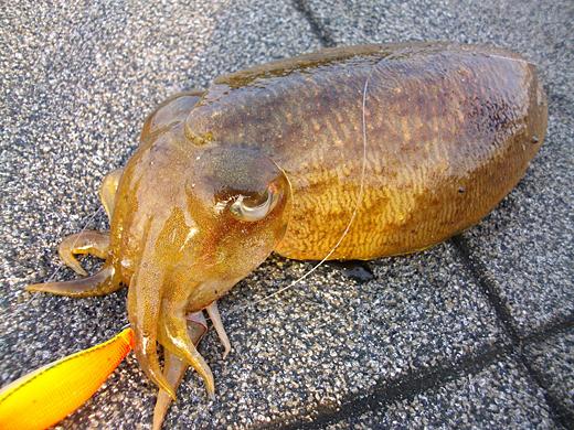 杉田臨海緑地で釣った1kgクラスのコウイカ