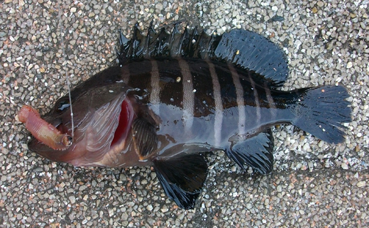 横須賀追浜・アイクル横護岸で釣ったマハタモドキの幼魚