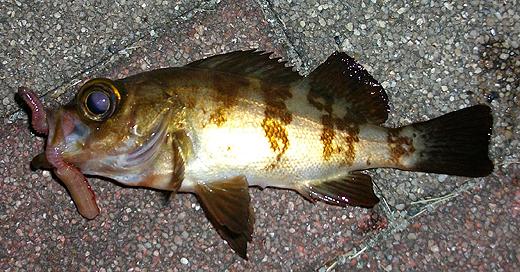 横須賀追浜・アイクル横護岸で釣ったメバル、その2