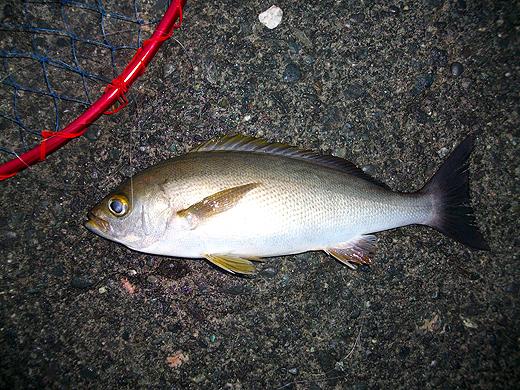 東伊豆・初島で釣った良型イサキ